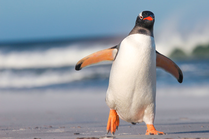 Gentoo Penguin walking on the Beach. Bertha's Beach. Falkland Islands.